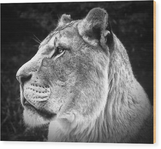 Silver Lioness  Wood Print