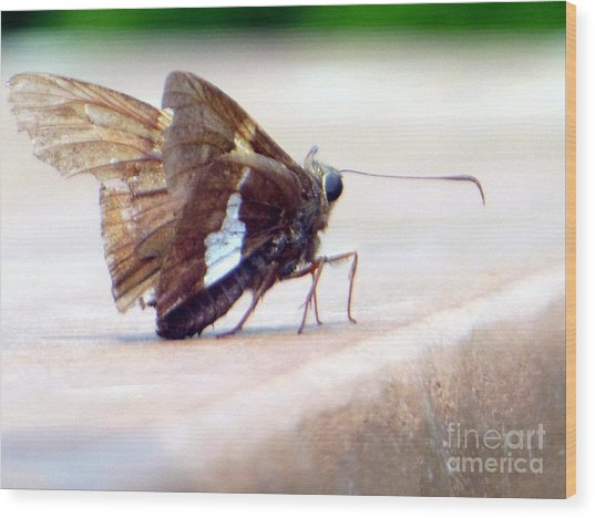 Silver Spotted Skipper Butterfly Wood Print
