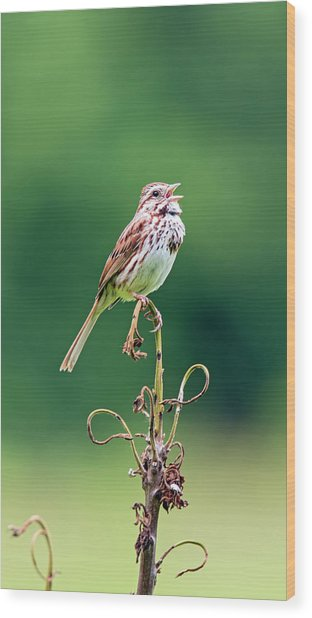 Singing Song Sparrow Wood Print