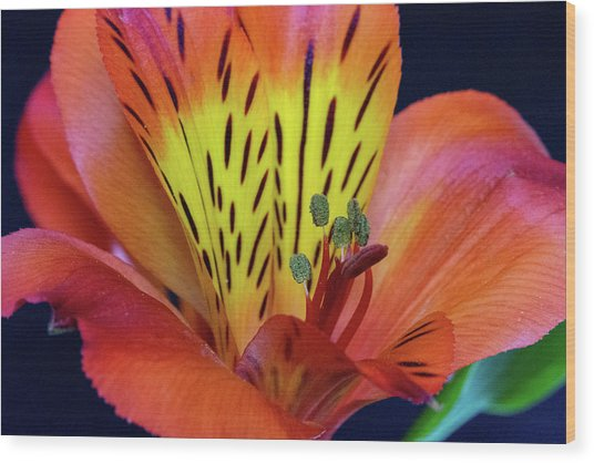 Single Alstroemeria Inca Flower-1 Wood Print