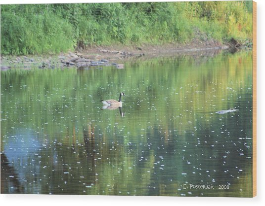 Single Canadian Goose Wood Print by Carolyn Postelwait