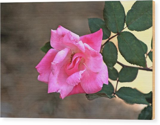 Single Red Rose Wood Print by Francesco Roncone