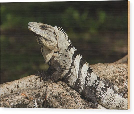 Sir Iguana Mexican Art By Kaylyn Franks Wood Print