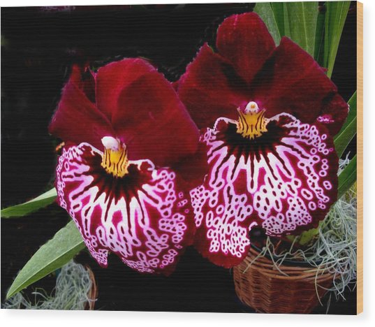 Sister Orchids Wood Print by Jeanette Oberholtzer