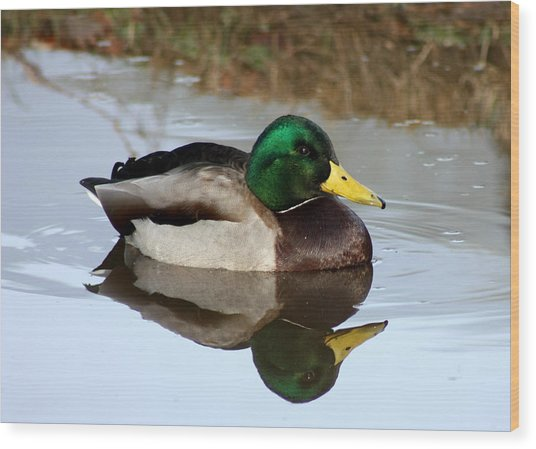 Sitting Duck Wood Print