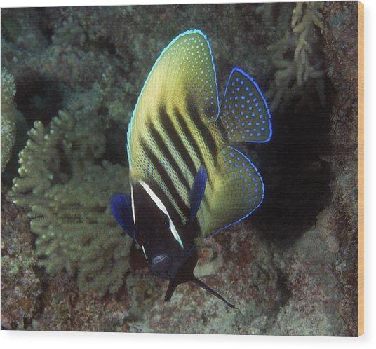 Six Banded Angelfish, Great Barrier Reef Wood Print