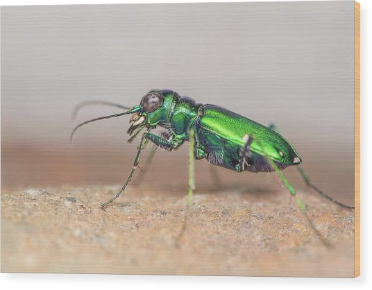 Six-spotted Tiger Beetle Wood Print by Derek Thornton