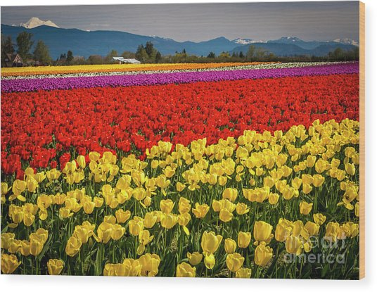 Skagit Valley Tulips  Wood Print