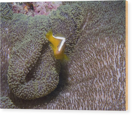 Skunk Clownfish Wood Print by Gary Hughes