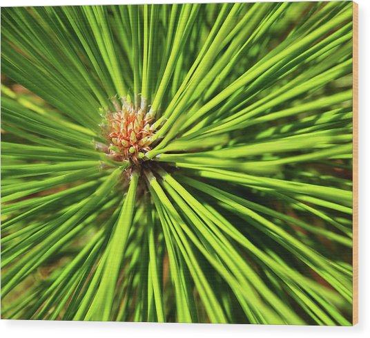 Slash Pine Needles Wood Print