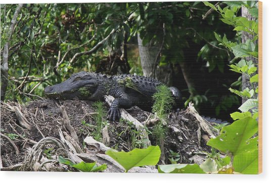 Sleeping Alligator Wood Print