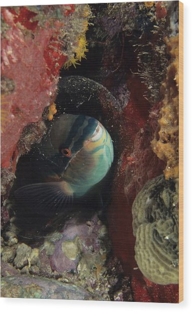 Sleeping Princess Parrotfish In Cocoon Wood Print