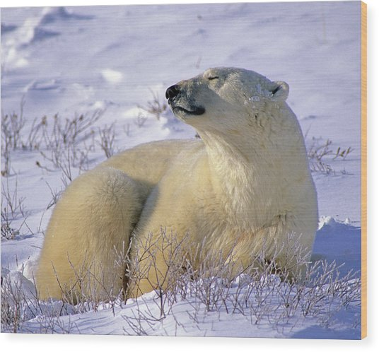 Sleepy Polar Bear Wood Print
