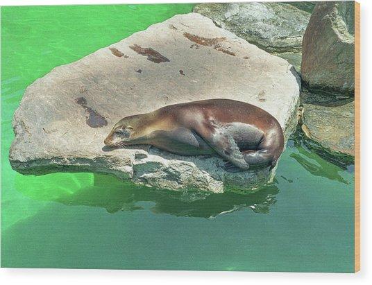Sleepy Sea Lion Wood Print