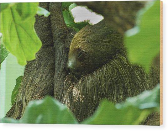 Sloth Sleeping Wood Print