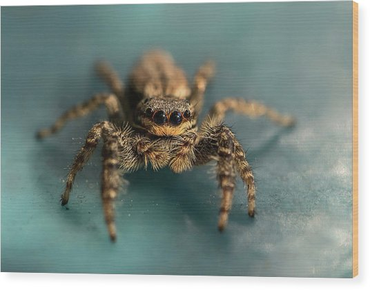 Small Jumping Spider Wood Print