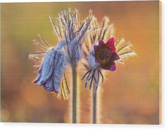 Small Pasque Flower, Pulsatilla Pratensis Nigricans Wood Print