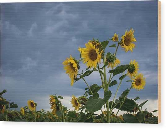 Small Sunflowers Wood Print