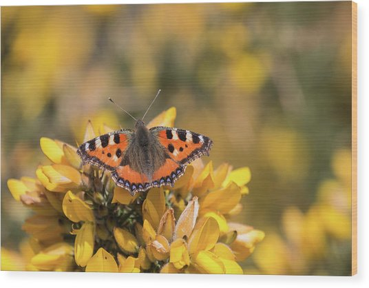 Small Tortoiseshell On Gorse Wood Print
