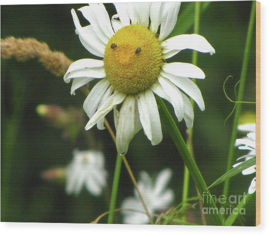 Smiley Face Ox-nose Daisy Wood Print