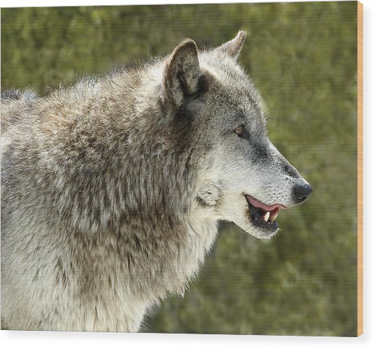 Smiling Wolf Wood Print