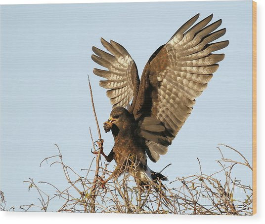 Snail Kite Coming In Wood Print