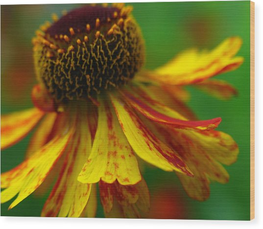 Sneezeweed Wood Print by Juergen Roth