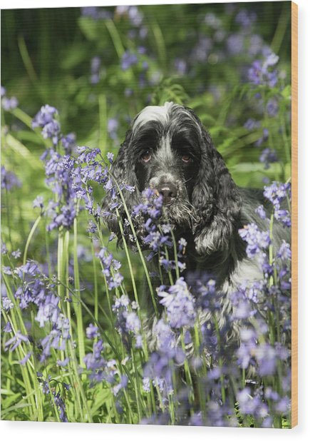 Sniffing Bluebells Wood Print