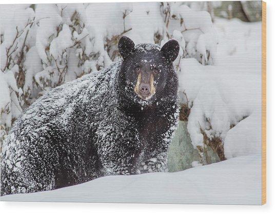 Snow Bear Stare Wood Print