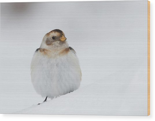 Wood Print featuring the photograph Snow Bunting - Scottish Highlands by Karen Van Der Zijden
