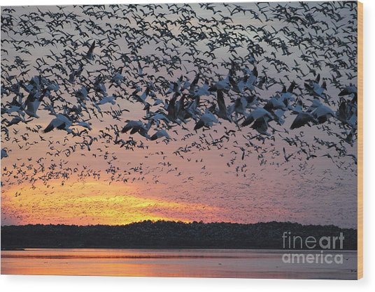 Snow Geese At Sunset Wood Print