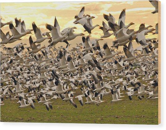 Snow Geese In Flight Wood Print