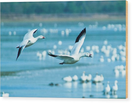 Snow Geese Wood Print by Jerry Weinstein