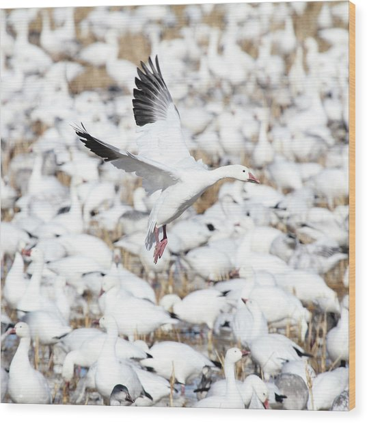 Snow Goose Lift-off Wood Print