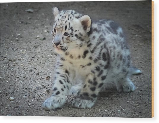 Snow Leopard Cub Wood Print