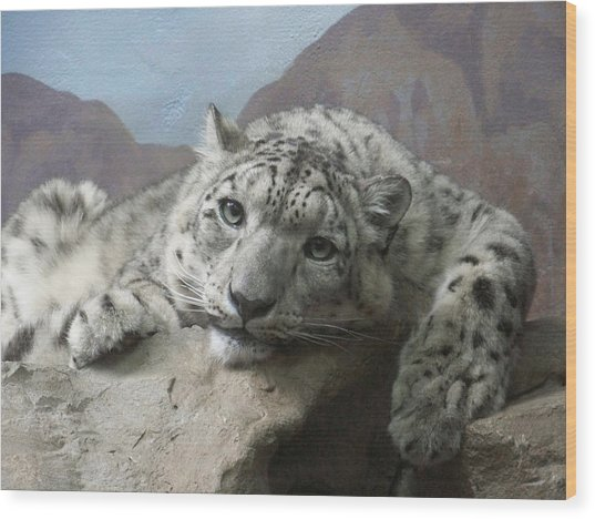 Snow Leopard Relaxing Wood Print