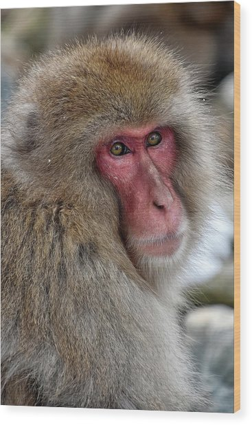 Snow Monkey Wood Print
