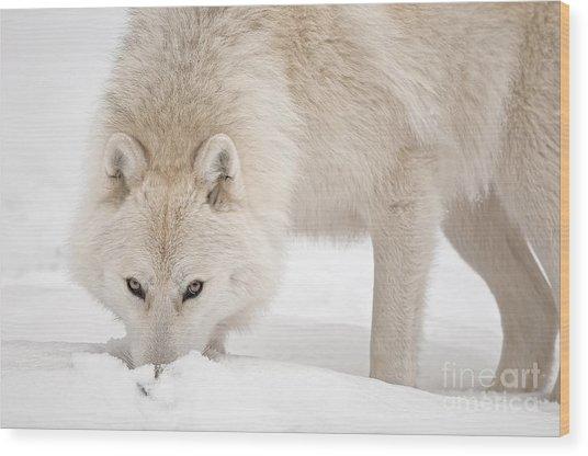 Snow Nose Wood Print