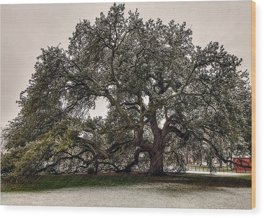 Snowfall On Emancipation Oak Tree Wood Print