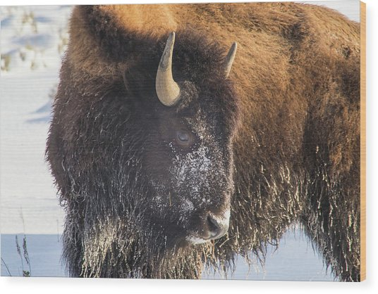 Snowy Bison Wood Print