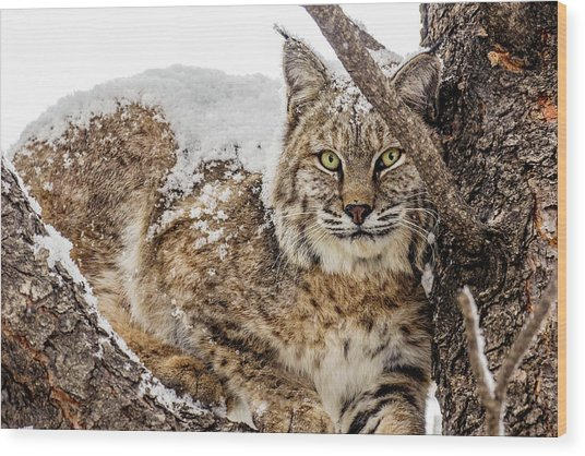 Snowy Bobcat Wood Print