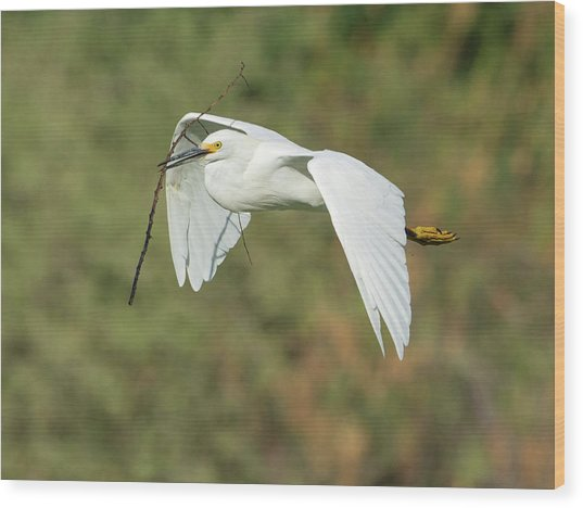 Snowy Egret 4786-091017-1cr Wood Print