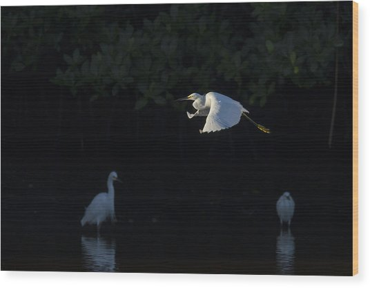 Snowy Egret Gliding In The Morning Light Wood Print