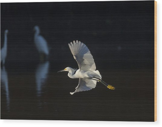 Snowy Egret In Flight In The Morning Light Wood Print