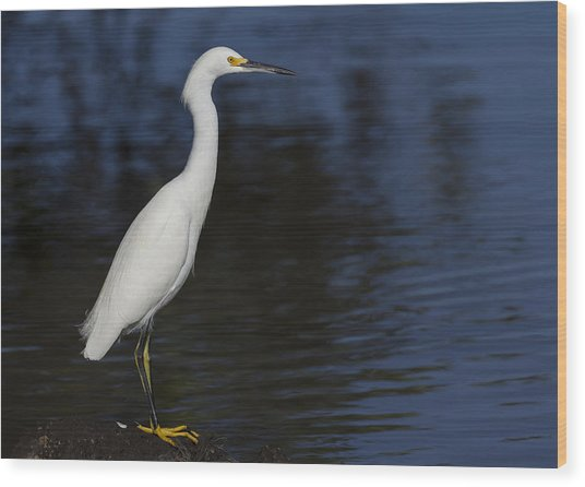 Snowy Egret Perched On A Rock Wood Print