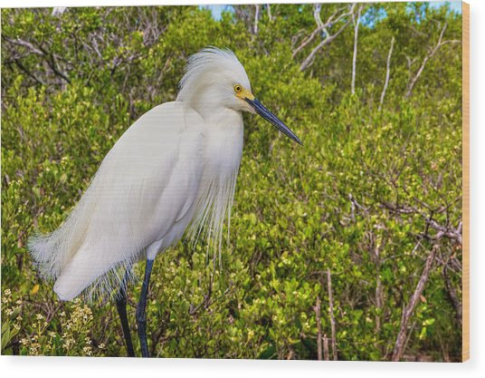 Snowy Egret Wood Print by William Wetmore