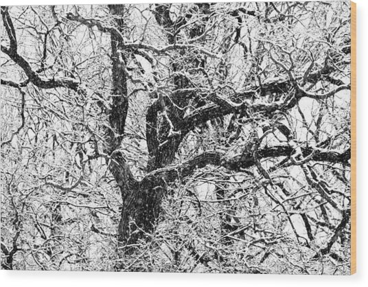 Snowy Oak Wood Print