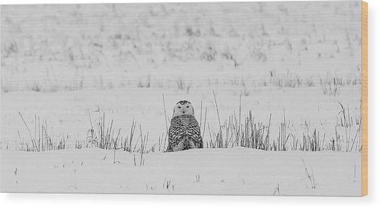 Snowy Owl In Snowy Field Wood Print