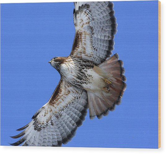 Soaring Red-tail Wood Print