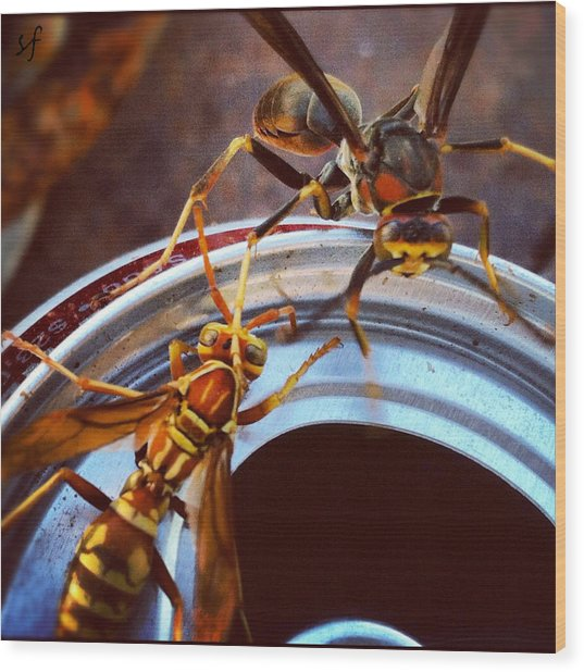 Wood Print featuring the photograph Soda Pop Bandits, Two Wasps On A Pop Can  by Shelli Fitzpatrick